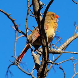 Female Cardinal 2 by Yvonne Collins - Animals Birds