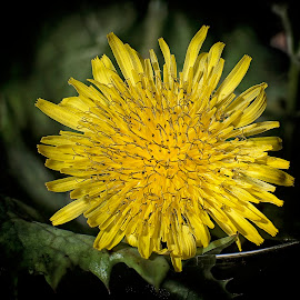 Dan de Lion by Paul Putman - Nature Up Close Other plants ( macro, dandelion, focus stacking, weed, yellow, flower )