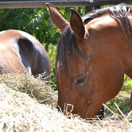 Eating New Bale by Tina Tippett - Animals Horses ( animals, horses )