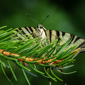 Butterfly 'Iphiclides podalirius' by Marina Denisenko - Animals Insects & Spiders ( papillon, macro, beauty, nature, butterfly )