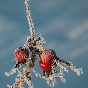 Frosty dogrose  by Irena Gedgaudiene - Nature Up Close Other plants (  )