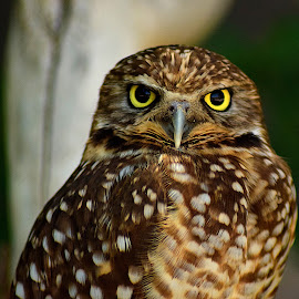 Spotted Owl by Shawn Thomas - Animals Birds