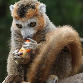 Crown Lemur by Ralph Harvey - Animals Other Mammals ( wildlife, lemur, ralph harvey, bristol zoo, animal )