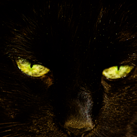 Cat Eyes by Sylvia Meier - Animals - Cats Portraits ( macro, cat, closeup, black, eyes )