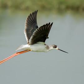 Black-Winged Stilt by Kamal Hari Menon - Animals Birds ( flight, nature, nature up close, wildlife, birds, photography )