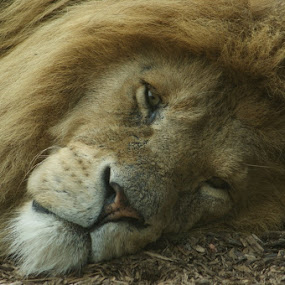 Just Resting My Eyes by Andrea Clayton - Novices Only Wildlife ( cats, lion, wildlife, cute )