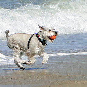 by Liz Rosas - Animals - Dogs Portraits ( playing, playful, schnauzer, beach, surf, dog )