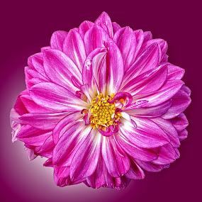 OLI dahlia 26 by Michael Moore - Flowers Single Flower (  )