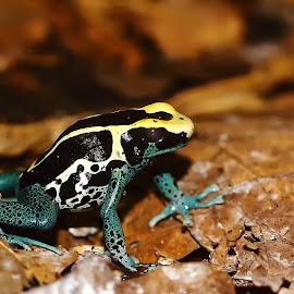 Tricolor by Gérard CHATENET - Animals Amphibians