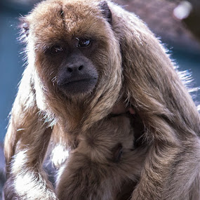 Black Howler Monkey with her baby! by Robert Harmon - Animals Other Mammals ( animals, zoo, primates, mammal, monkey )