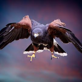 Cleared to land! by Sandy Scott - Animals Birds ( animals, harris hawk, skies, hawk, predators, bird, wildlfie, birds of prey, talons, nature, sunset, wings, hawk in flight, raptor, sunrise )