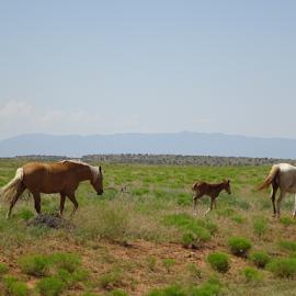 Growing up wild by Brian  Boyle - Animals Horses ( open range, photograph, horses, #brianboylephotograph, horse, brian boyle, photography, @brianboyle14, mustang, wild horse, free, rangeland, utah, #brianboyle14, bb, yukonbrianboyle )