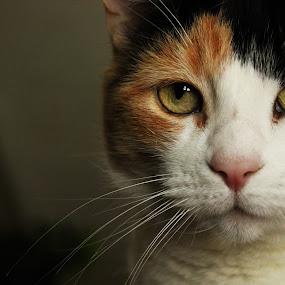 Involved by David Vanveen - Animals - Cats Portraits ( cats, kitten, cute, portrait )