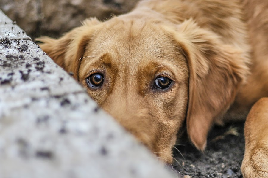 Hide and Seek by Caitlin Lisa - Animals - Dogs Portraits ( soul, puppy, dog, golden retriever, eyes )