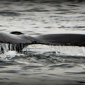 Whale Tail by Jackie Brunette Ladouceur - Animals Sea Creatures ( alaska, sea, ocean, whale, tail,  )