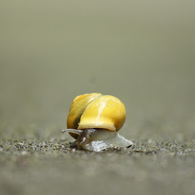 Snail by Md Mukibul Islam - Animals Other ( macro, wildlife, snail )