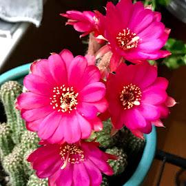 Blooming cactus  by Roxana McRoberts - Instagram & Mobile Instagram