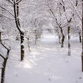 Trees in the snow by Vicki Clemerson - Landscapes Weather ( snowy trees, winter, snow, white, weather, trees, winter sun )