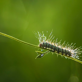 The Caterpillars by Deden Wahyuniman Mortir - Animals Other ( macro, macrophotography, nature, macro photography, green, nature up close, nature close up, caterpillar, insect, caterpillars, photooftheday, animal )