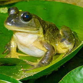 Lily Pad Frog by Jerry Cahill - Animals Amphibians ( amphibian frog, frog, bull frog, frogs, green frog )