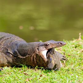 Greedy wild monitor lizard by Chong Kok - Animals Reptiles ( how do i swallow it ? )