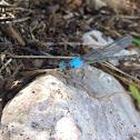 Blue-fronted dancer damselfly