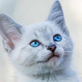 Kitten by Dave Lipchen - Animals - Cats Kittens ( kitten )