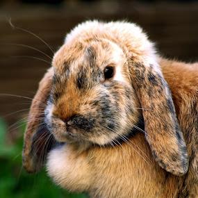 ... by H. B. - Animals Other ( rabbit, animals, rabbits, portrait )