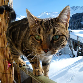 Winter cat by Renato Strassmann - Animals - Cats Portraits ( winter cat kitten balcony sunshine snow )