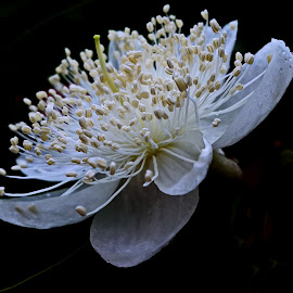 Guava tree flower by Prema Pangi - Flowers Tree Blossoms