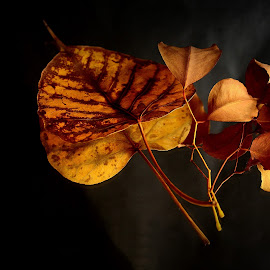 Aging Gracefully by Prasanta Das - Nature Up Close Leaves & Grasses ( ripe, leaves, aging )