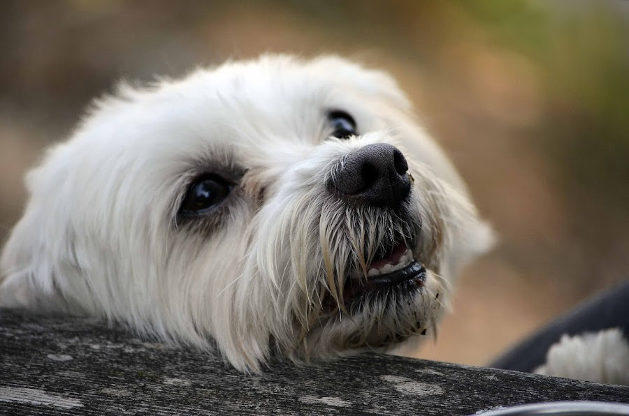 Give me some! :D by Daniel Mlakar - Animals - Dogs Portraits ( look, maltese, fuuny, dog, cute )