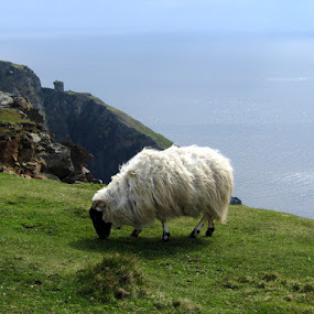 Irish sheep by Ludwig Wagner - Animals Other ( cliff, sea, ocean, sheep )