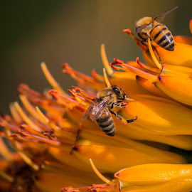 Bees by Deborah Bisley - Animals Insects & Spiders ( bee feeding, bees, sitting, bee, feeding, insects, honey bee )