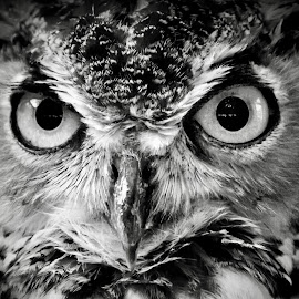 Owl in Monochrome  by Amanda  Castleman  - Black & White Animals ( bird, monochrome, nature, black and white, owl, wildlife, animal )