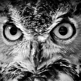 Owl in Monochrome  by Amanda  Castleman  - Black & White Animals ( bird, monochrome, nature, black and white, owl, wildlife, animal,  )