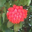 Scarlet Flame Bean