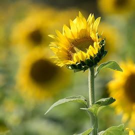 Sunflowers by Kathleen Otto - Flowers Flower Gardens