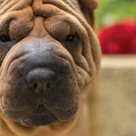 A wrinkle in time  by Clarissa Human - Animals - Dogs Portraits ( wrinkles, dog photography, dogs, dog, sharpei, dog portrait,  )