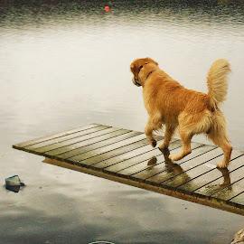 Golden R by Mathias Hansen - Animals - Dogs Playing ( water, animals, nature, golden retriver, animals dogs, sea, landscape, dog )