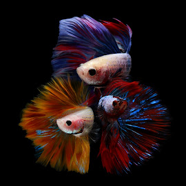 Beautiful betta fish multi color by Kurit Afsheen - Animals Fish ( isolated, full color, fish, beautiful, multicolored )