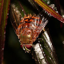 Bristle Fly sp