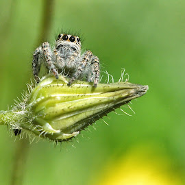 The observer by Roberta Sala - Animals Insects & Spiders ( macro, nature, macro photography, spider, insect )