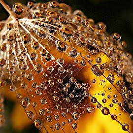 Golden Splendor by Marija Jilek - Nature Up Close Natural Waterdrops