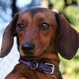 Selene Look by Chrissie Barrow - Animals - Dogs Portraits ( smooth, purple, collar, bokeh, portrait, eyes, pet, dachshund (miniature smooth), ears, fur, dog, nose, black, tan )