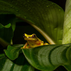 Hourglass frog by Garry Chisholm - Animals Amphibians ( hourglass frog, sigma, macro, nature, workshop, amphibian, canon, garry chisholm )