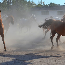 horses by Rux Georgescu - Animals Horses ( animals, freedom, horses, horse, domestic )