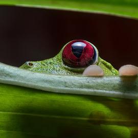 Behind the Leaf by Phyllis Plotkin - Animals Amphibians ( ecuador, nature, el choco, frog, amphibian, leaf, red eye )