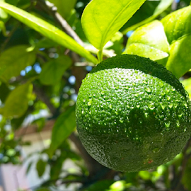 { Young Juice Orange after the Rain }   by Jeffrey Lee - Nature Up Close Gardens & Produce ( young orange, juicer oranges when young,  )