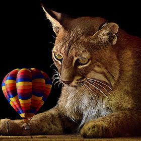 Bobcat Reflects DA.jpg